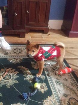 Click image for larger version.  Name:William in Christmas sweater.jpg Views:16 Size:74.6 KB ID:15494